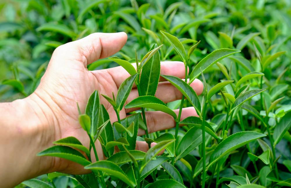 frunze ceai verde
